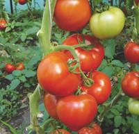 Семена томата красного индетерминантного (высокорослого) Берберана F1 (Berberana F1) 500 сем.