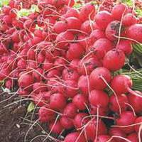 Семена редиса Селеста F1 (Celesta F1) 50 000 сем. (3.00-3,25 мм)