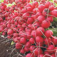 Семена редиса Селеста F1 (Celesta F1) 50 000 сем. (2,75-3,00 мм)