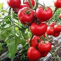 Семена томата Леда F1 (Leda F1), 500 сем. полудетерминантного