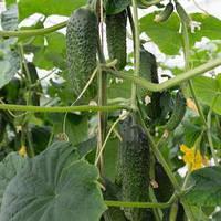 Семена огурца партенокарпического (самоопыляемого) Анзор F1 (Ansor F1) 250 сем.