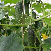 Семена огурца партенокарпического (самоопыляемого) Анзор F1 (Ansor F1) 1 000 сем.