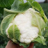 Семена капусты цветной Саборд F1 (Sabord F1) 2 500 сем. (калибр.)