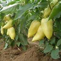 Семена перца сладкого Ами (Amy) 1 000 сем.