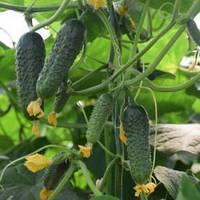 Семена огурца партенокарпического (самоопыляемого) Кантара F1 (Cantara F1) 1 000 сем.