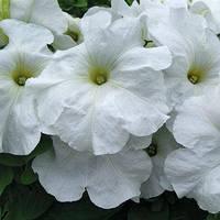 Семена петунии грандифлора (крупноцветковой) Лимбо F1, белая 1 000 сем. (драж.)