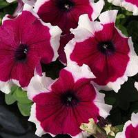 Семена петунии грандифлора (крупноцветковой) Лимбо F1, бургунди пикоте 1 000 сем. (драж.)