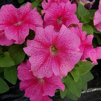 Семена петунии грандифлора (крупноцветковой) Лимбо F1, розовая с красными прожилками 1 000 сем. (драж.)