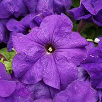 Семена петунии грандифлора (крупноцветковой) Лимбо F1, средне синяя 1 000 сем. (драж.)
