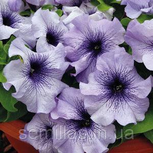 Семена петунии Лимбо F1, 1 000 сем. (драж.), голубая с синими прожилками грандифлора (крупноцветковая)