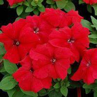 Семена петунии грандифлора (крупноцветковой) Лимбо F1, красная (Petunia grandiflora Limbo F1, red) 1 000 сем. (драж.)