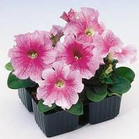 Семена петунии грандифлора (крупноцветковой) Танго F1, розовая с красными прожилками 1 000 сем. (драж.)