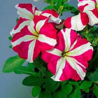 Семена петунии грандифлора (крупноцветковой) Танго F1, розовая звезда 1 000 сем. (драж.)