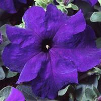 Семена петунии грандифлора (крупноцветковой) Танго F1, синяя 1 000 сем. (драж.)