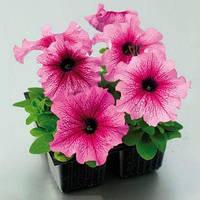 Семена петунии грандифлора (крупноцветковой) Танго F1, сливовая 1 000 сем. (драж.)
