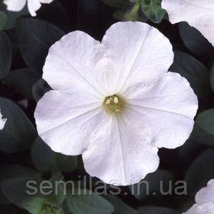 Семена петунии мультифлора (многоцветковой) Ламбада F1, белая 1 000 сем. (драж.)