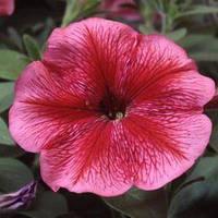 Семена петунии мультифлора (многоцветковой) Ламбада F1, с красными прожилками 1 000 сем. (драж.)