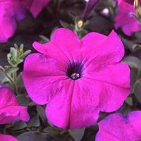 Семена петунии мультифлора (многоцветковой) Ламбада F1, насыщенно фиолетовая 1 000 сем. (драж.)