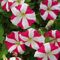 Семена петунии мультифлора (многоцветковой) Ламбада F1, розовая звезда 1 000 сем. (драж.)