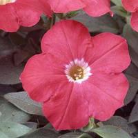 Семена петунии мультифлора (многоцветковой) Ламбада F1, скарлет 1 000 сем. (драж.)