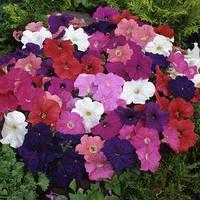 Семена петунии мультифлора (многоцветковой) Ламбада F1, смесь 1 000 сем. (драж.)