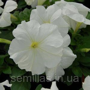 Семена петунии мультифлора (многоцветковой) Мамбо F1, белая 1 000 сем. (драж.)