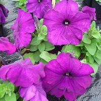 Семена петунии мультифлора (многоцветковой) Мамбо F1, насыщенно пурпурная 1 000 сем. (драж.)