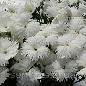 Семена гвоздики китайской Диана F1, белая 1 000 сем.
