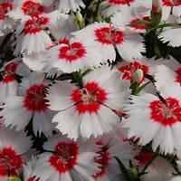 Семена гвоздики китайской Диана F1, белая с красной срединой 1 000 сем.
