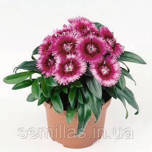 Семена гвоздики китайской Чиба F1, пурпурная пикоте 1 000 сем.