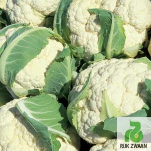 Семена капусты Сантамария F1 (Rijk Zwaan) 2500 сем - середнераняя (80 дней), всесезонная, цветная - ЗЕЛЕНИЙ СВІТ — интернет магазин для фермера, садовода, огородника в Днепре