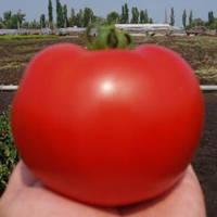 Семена томата Багира F1 (Clause) 5 г — ранний (65 дней), красный, детерминантный, круглый
