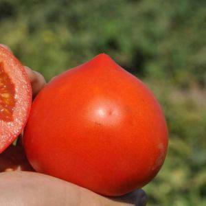 Семена томата Супернова F1/Каста F1 (Clause) 5000 семян — ранний (65 дней), красный, детерминантный, круглый, фото 2