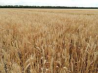 Семена пшеница озимая Лист-25 Луганский институт селекции и технологии ЛИСТ  P1