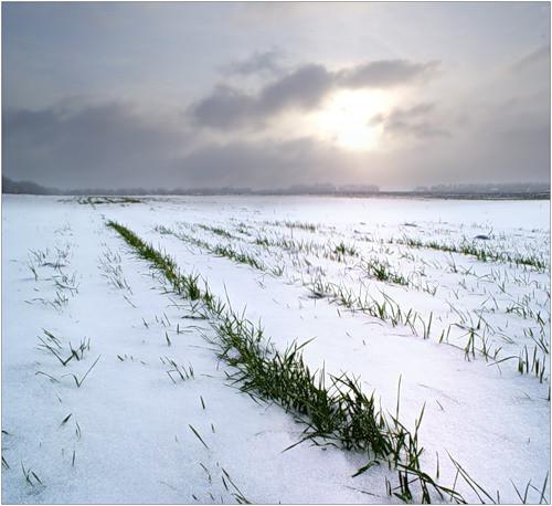 Насіння пшениця озима