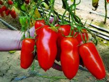 Семена томата Айдар F1 1000 семян (индетерминантный)