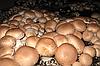 Мицелий Шампиньона Королевский (коричневый)