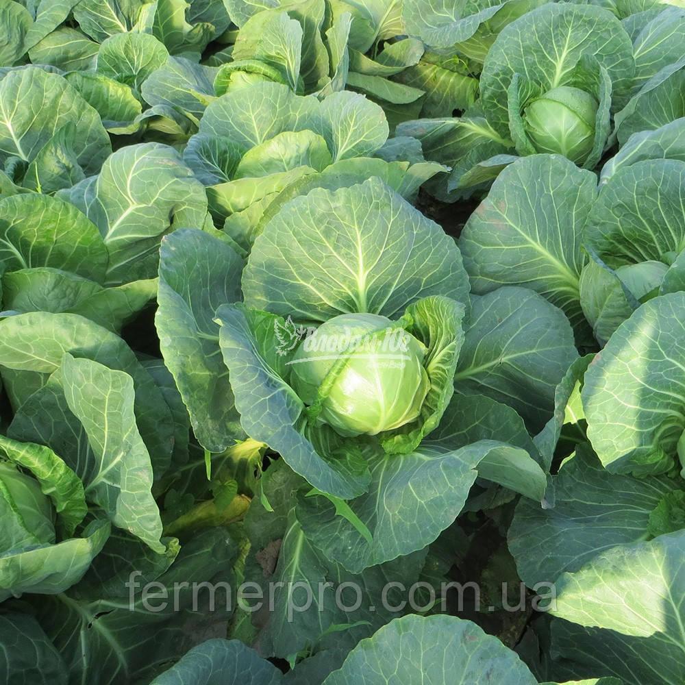 Семена капусты Легат F1 \ Legat F1 1000 семян Clause