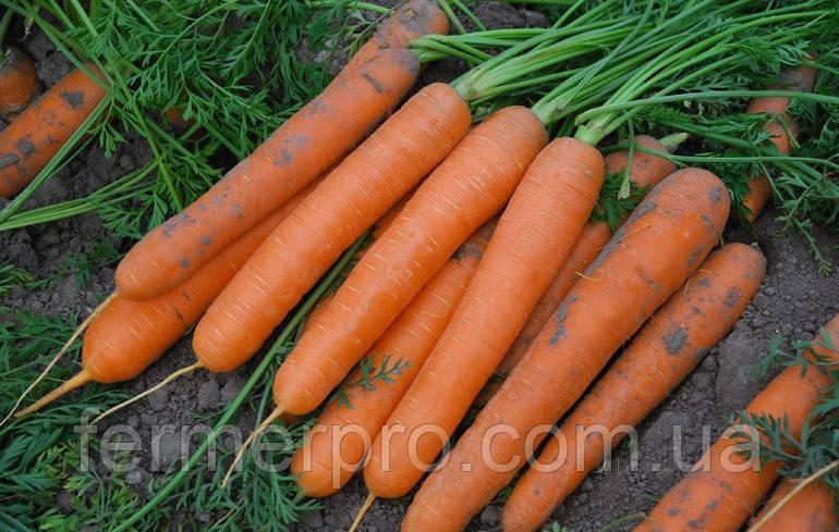 Семена моркови Сатурно F1 \ Saturno F1 25000 семян Clause