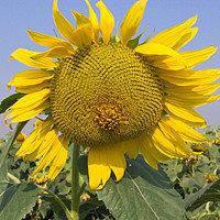 Семена подсолнечника Осман (под Евро-Лайтинг) (цена договорная)