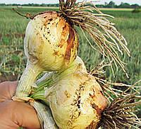 Семена озимого репчатого лука Булат / Bulat 250 000 семян