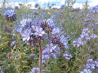 Фацелия пижмолистная (фацелія піжмолістна - укр.), семена