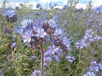 Фацелия пижмолистная сорт Алина, чистота 99%, семена 2020 года