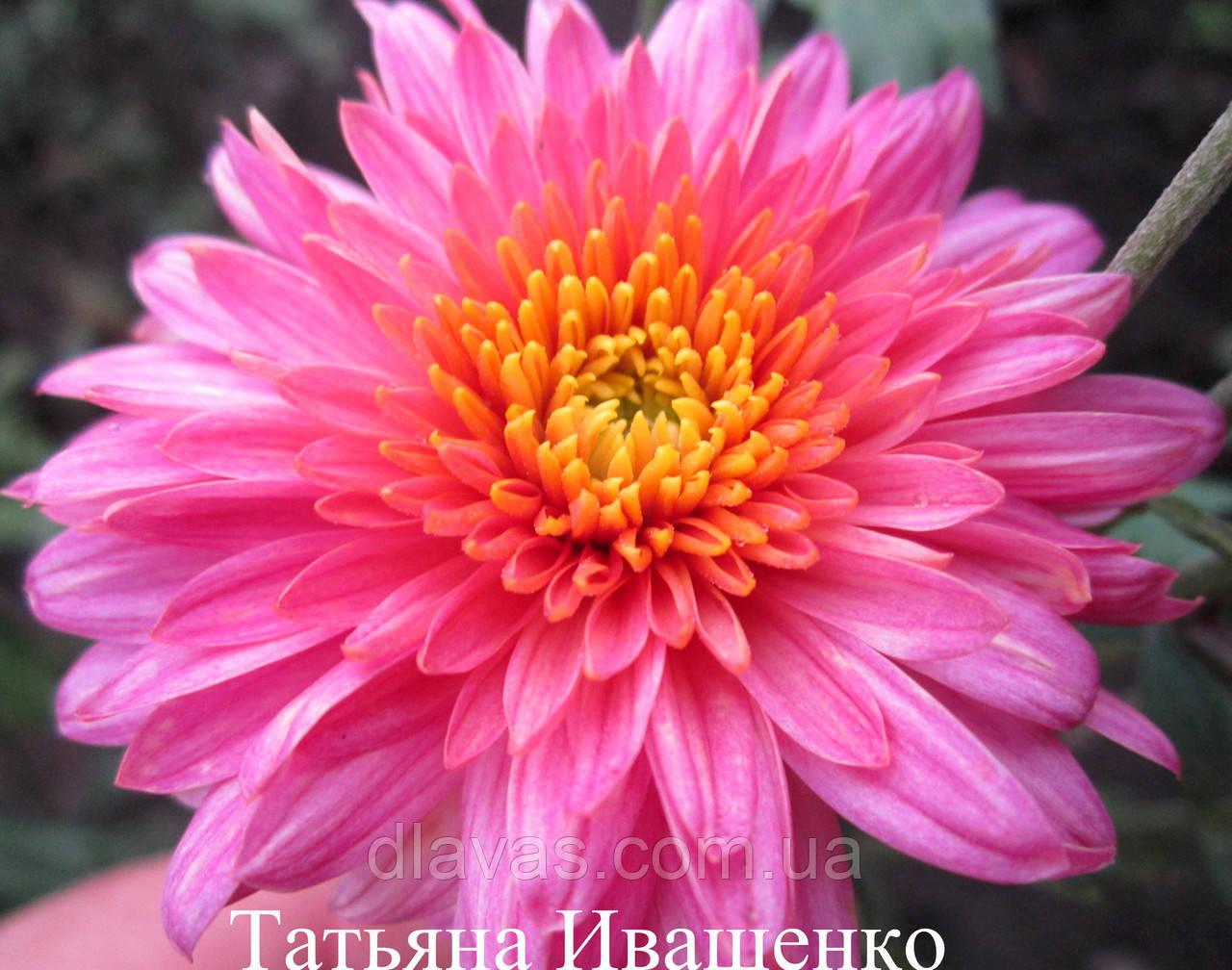 Хризантема СВИТЛАНКА корейская садовая РАННЯЯ