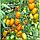 Семена томата Золотые пальчики 1г, фото 3