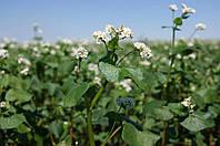 Гречиха (гречка - укр.), семена