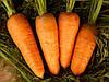 Семена моркови Болтекс  \ Boltex 500 грамм Clause
