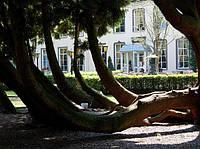Дерево Жизни - Туя Колония в Голландии