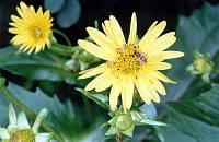 Сильфия пронзеннолистная (сільфія пронзеннолістна), семена