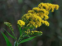 Золотарник обыкновенный (золотарник звичайний), семена